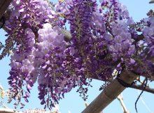 wisteria-1313224_960_720