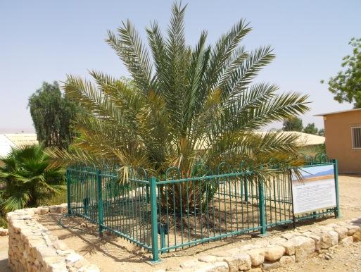 la palma di Masada